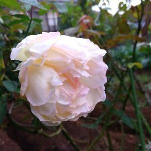 2020【無農薬でバラ栽培】菜園とマダム・ジョゼフ・シュワルツ&ロック・ヒル・ピーチ・ティ