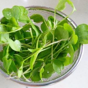 大根の間引き苗でサラダ