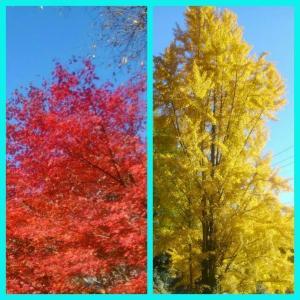 紅葉と銀杏が秋の里山を鮮やかに彩る美しい季節