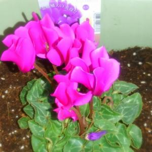 シクラメンの花を置いたらベランダがパーッと明るくなった!