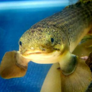 稚魚から育てたポリプテルス飼育記録!手入れがし易く元気に育てる環境づくりについて!