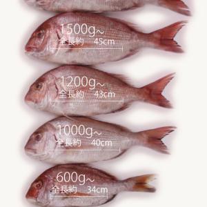 【食べチョク】コロナで緊急値下げ!!大型真鯛が送料込1600円 活〆