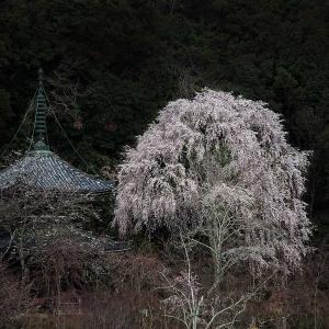 京都の桜(2)