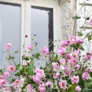 10月15日の誕生花はシュウメイギク 薄れゆく愛の花