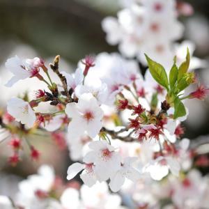 桜の季節とコロナウイルスのこと