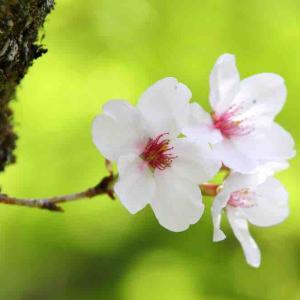 桜並木を散歩