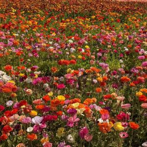 やっと行けた!The Flower Fieldsに初訪問♪