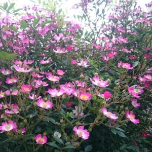 所沢home花盛り バラ
