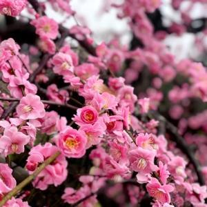 満開の梅をお花見!名古屋市農業センターのしだれ梅まつり