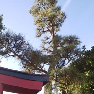 チロリアンブリッジで松の木剪定