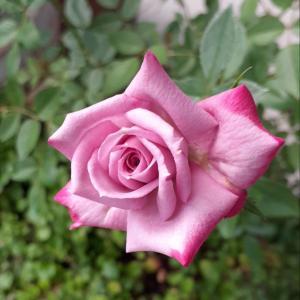 今日の花♪