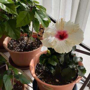 窓辺の植物とブラームス♪