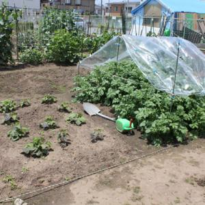 畑の様子、ジャガイモ後作の準備