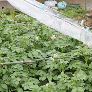 遅植えのジャガイモ再び開花