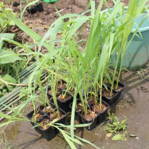 夏後半の野菜を定植