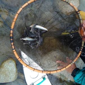 依田川の釣果