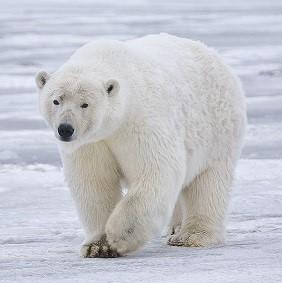 北極のシロクマと黒くま?