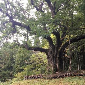 日本一の栗の木へ