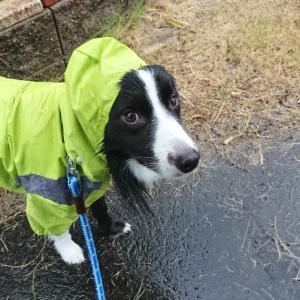 台風が酷くなる前に散歩へ【ボーダーコリー】