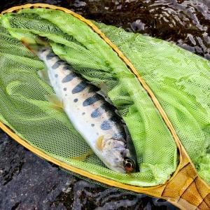 【低水温でもドライで爆釣!】解禁間もない三月の木曽で山籠もり釣行