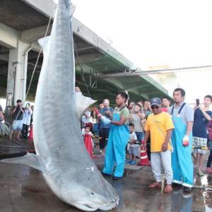全長約4メートル、517キロ 巨大イタチザメも退治!