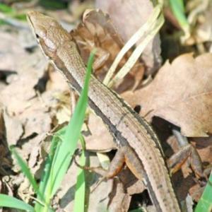 カナヘビの飼育方法は?寿命やエサ、種類を調べてみた!
