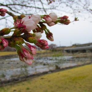 那須の桜前線余笹川ふれあい公園☆