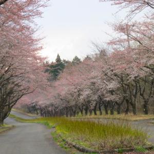 毎年恒例の桜前線を追いかけてみたぁ~☆彡