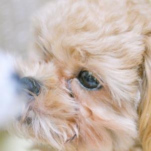 【犬と猫の涙やけ】原因と予防や対策!涙やけになりやすい犬種・猫種を解説します。