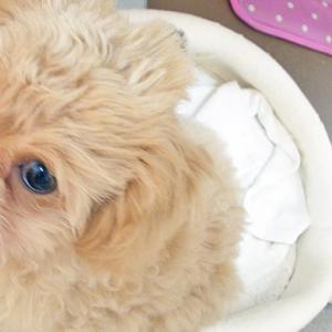 【愛犬の涙やけが治りました】眼科専門の動物病院へ行ってきました!涙やけ治療で行なった事を紹介します。