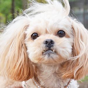 ミックス犬ペキプーの特徴を紹介します!