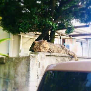 【沖縄離島】与那国の堂々としたマヤー(猫)
