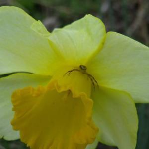 Long-cupped daffodil