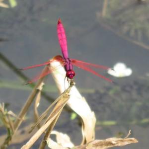 紅蜻蛉(フォトチャンネル)