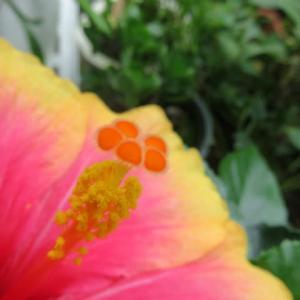 Hibiscus Mrs. Yumi