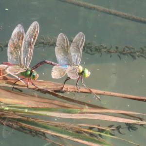 銀蜻蜓の産卵#1