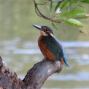 River Kingfisher