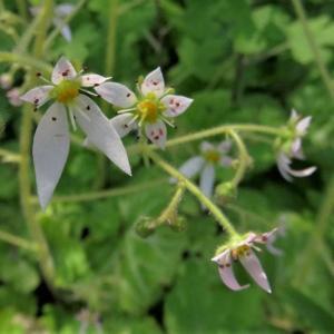 Strawberry Geranium