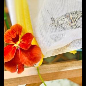 越冬蛹【ナミアゲハ】越冬蛹になれなかった理由