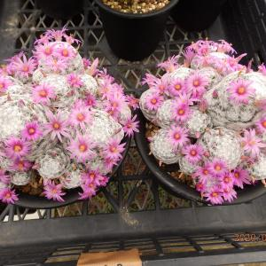 3月31日 豪華に咲いた花をどうぞ &  イベント情報