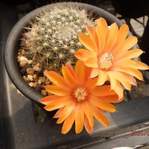 4月6日 小型サボテンの花 & 光堂の植え替え