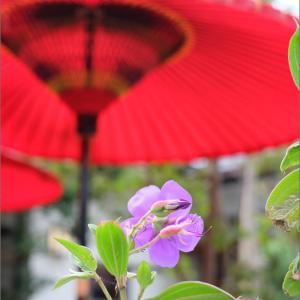 朱赤野点傘と紫色の花
