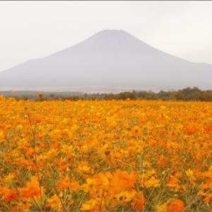 花の都公園 コスモス畑