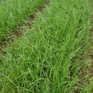 10月18日 レタス収穫、玉ねぎ植え