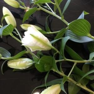【コダワリの百合】八重のカサブランカにアジアンティックリリーをお土産、花束に💐