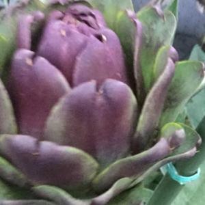 【こだわりの苗】アーティチョークが、植え替えから1ヶ月、新芽も見え隠れ…🌱