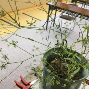 薬草【ミシマサイコ・当帰】栽培講習会へ❣️そして、苗半作や土作りの大切さも講義のhanacafe✌️