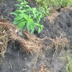 【マイファーマー】様の菜園メンテナンス1週間ぶりに❣️次定植品種何処へ…すると唖然‼️