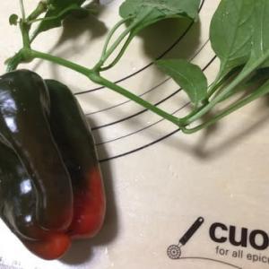 【こだわりの苗】パプリカ6年生苗が、天井高く伸びて豊作❣️夏野菜朝どりです✌️