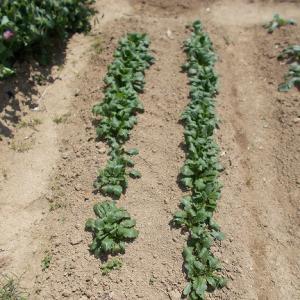 週末農業(令和元年5月③、大根、カブの追肥と手入れ、ジャガイモの手入れ、畑のマルチング、オクラの確認、エゴマの種蒔き)
